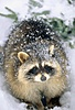 groups/478-wombat-for-president/pictures/90104-racc24.jpg